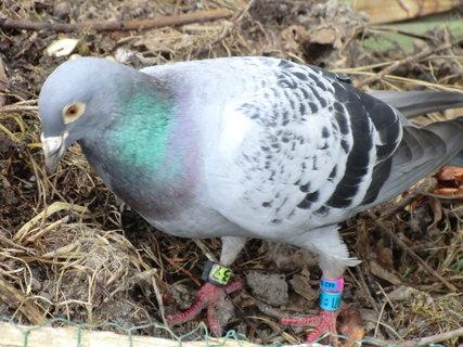 FOTKA - Na zahradě se nám usadil holub - je kroužkovaný