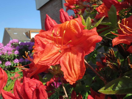 FOTKA - cerveny rododendron