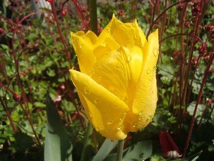 FOTKA - zmoknutý žltý tulipán