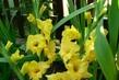gladioly žluté