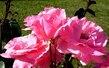 Růžičky5