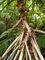 ve skleníku v Troji, kořeny pandanusu