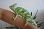 Náš  chameleon  Max