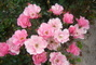 přes 20 let staré růže po babičce