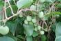 kiwi krásně rostou