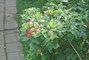 jablíčka už červenají