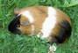 Morčátko Amálka
