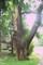 Velký dub Hracholusky