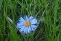 modrá kytka v trávě