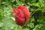 červená růžička
