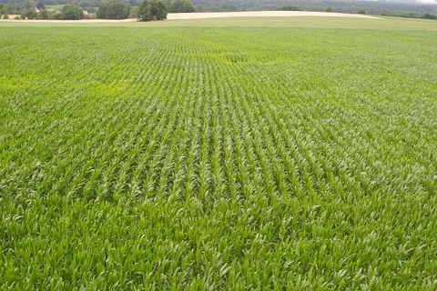 FOTKA - kukuřičné pole z mírného nadhledu