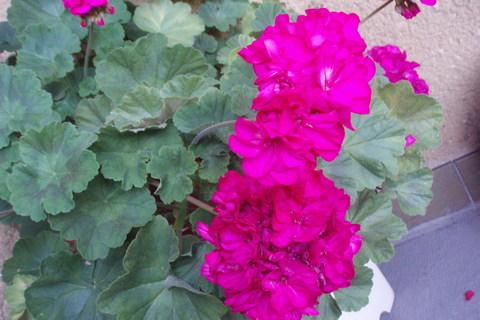 FOTKA - Muškát lila