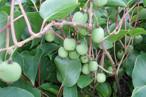 FOTKA - kiwi krásně rostou