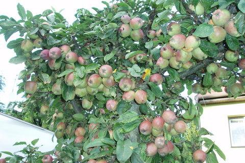 FOTKA - to je jablek