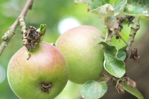 FOTKA - jablka,
