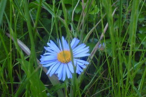 FOTKA - modrá kytka v trávě