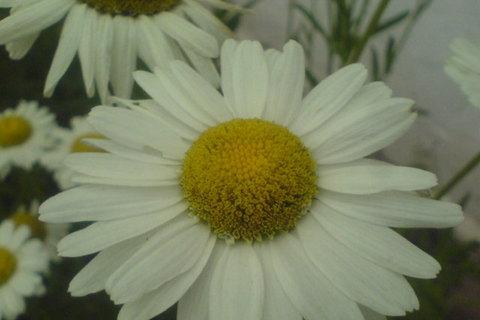 FOTKA - bílé kytky