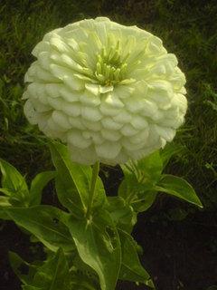 FOTKA - bílá kytička