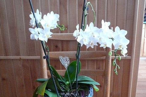 FOTKA - druhá orchidej mi také kvete