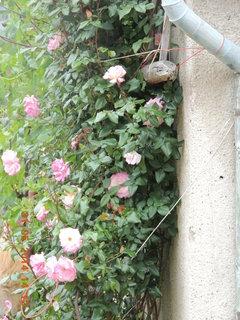 FOTKA - Růžový keř u zdi 31.5. 2014
