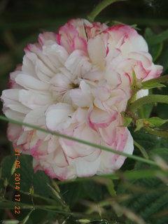 FOTKA - Růže 31.05. 2014
