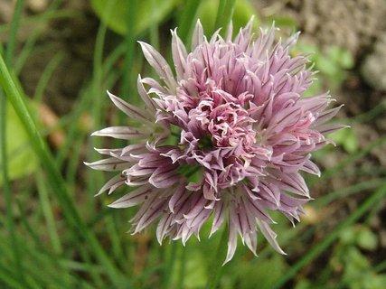 FOTKA - pažítka kvitne