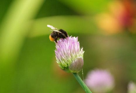 FOTKA - cmelda na kvetu pazitky