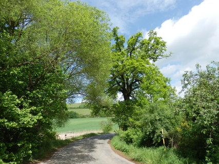 FOTKA - dub letní křemelák, památný strom u Litně s obvodem kmene 352 cm, jehož stáří je odhadováno na 250 let.