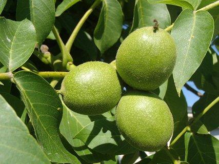 FOTKA - tri orechy, ešte zelené