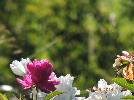 FOTKA - Jediný růžový květ pivoňky 7.6. 2014