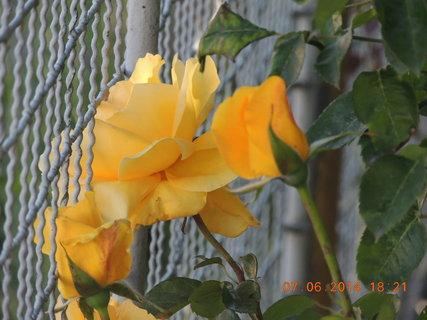 FOTKA - Žlutá růže - Novošlechtění 7.6. 2014