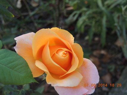 FOTKA - Whisky růže -  ještě jedna 7.6.2014