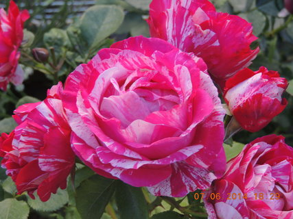 FOTKA - Růžovo-bílá růže 7.6.2014