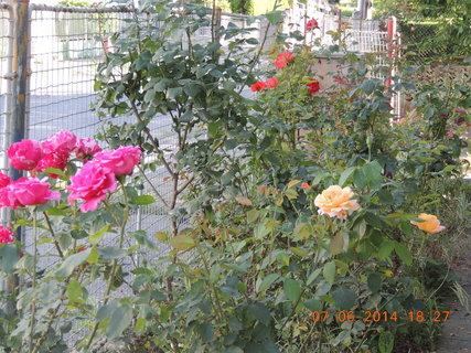 FOTKA - Záhon růží 7.6.2014