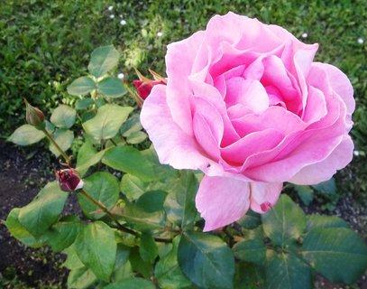 FOTKA - Růžovoučká růže