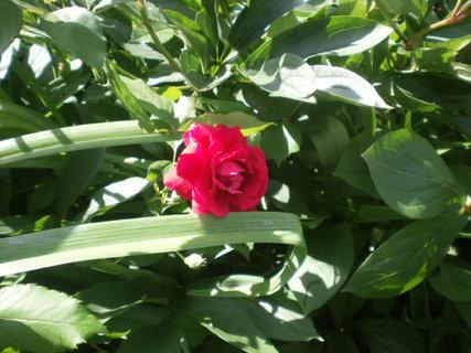 FOTKA - Pnoucí růžička