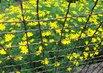 Žluté za plotem
