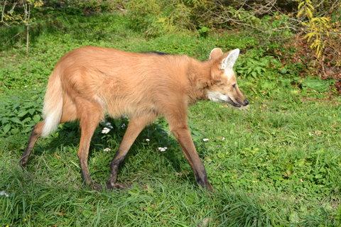 FOTKA - Vlk hřívnatý