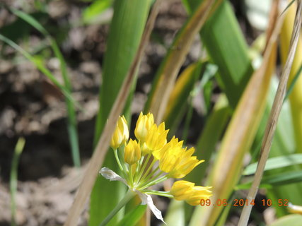 FOTKA - Květ ozdobného česneku 9.6. 2014