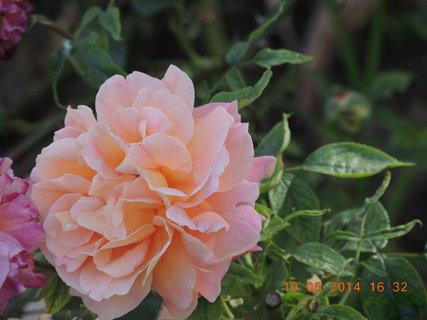 FOTKA - Růže 10.6. 2014
