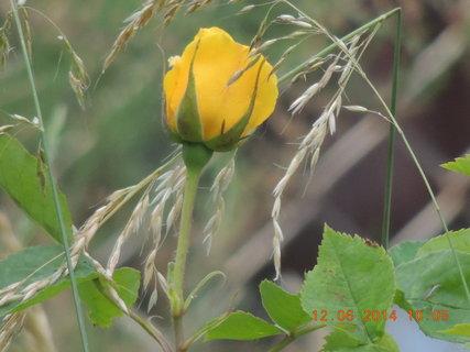 FOTKA - Žlutá růže v trávníku
