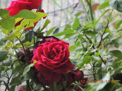 FOTKA - Červená růže 12.6. 2014