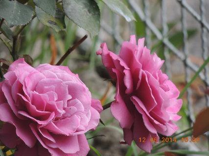 FOTKA - Růžová růže 12.6. 2014