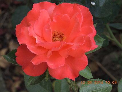 FOTKA - Voňavá růže 12.6. 2014