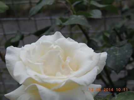 FOTKA - Bílá růže 12.6. 2014