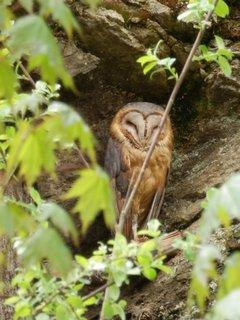 FOTKA - schovává se... letošní toulání Šumavou - sovinec v Borových Ladech