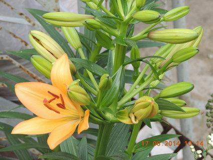 FOTKA - Lilie - první květ 17.6. 2014