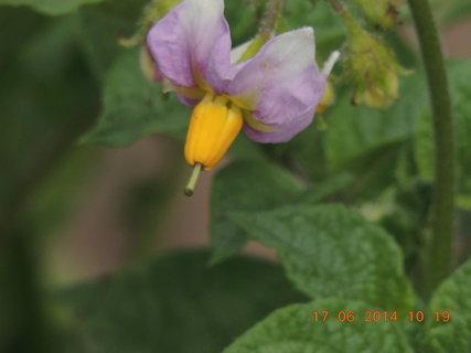 FOTKA - I bramborový květ je krásný 17.6. 2014