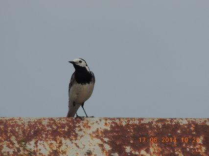 FOTKA - Velmi plachý ptáček 17.6. 2014