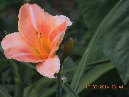 FOTKA - Druhý květ denivky 17.6. 2014